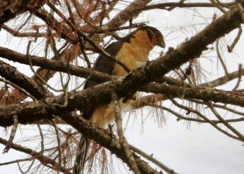 Falcão-relógio (Micrastur semitorquatus) foi registrado no Horto de Tupi durante observação de espécies - Foto - Kristina Pereira
